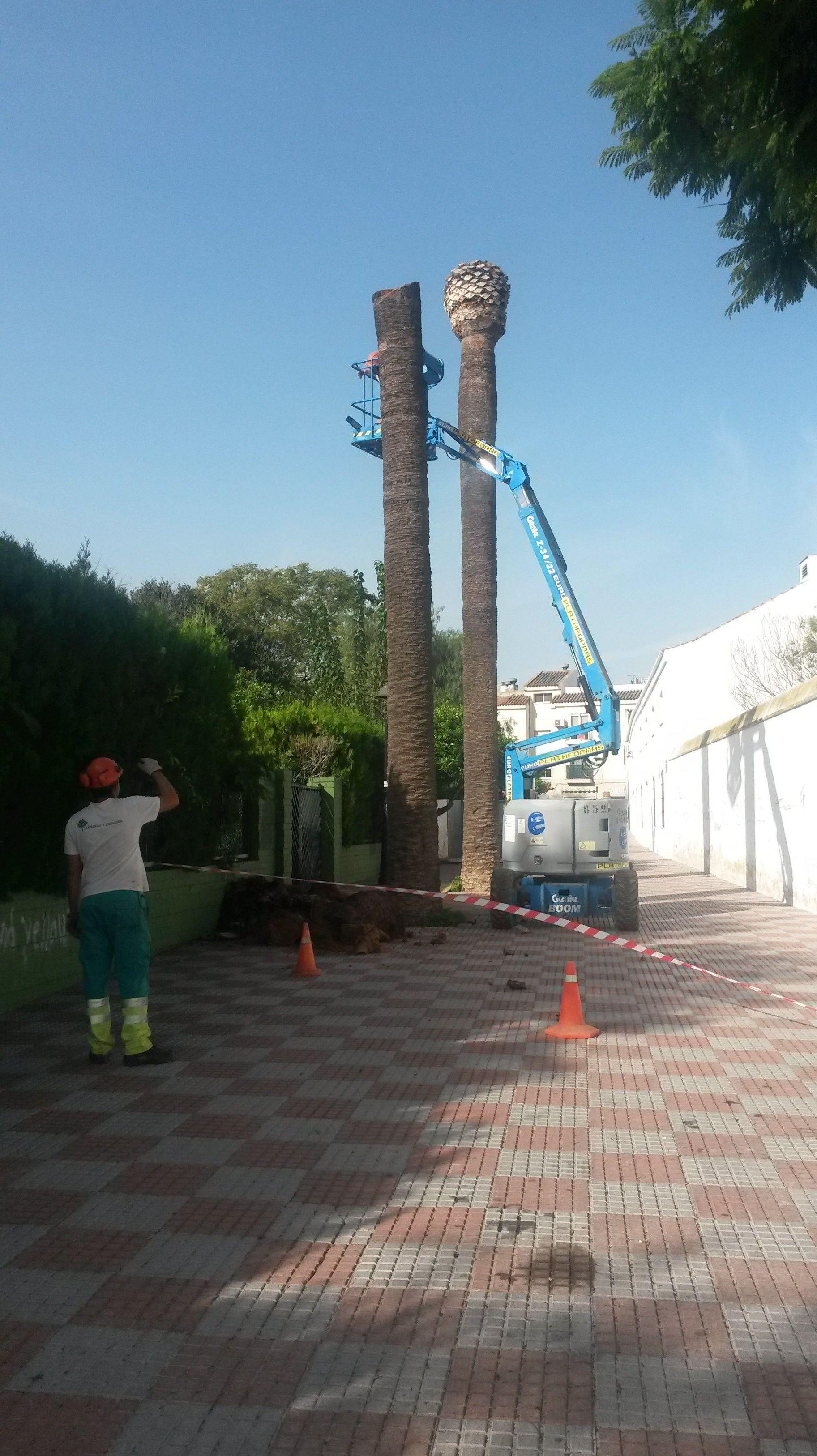 Derribo de palmeras