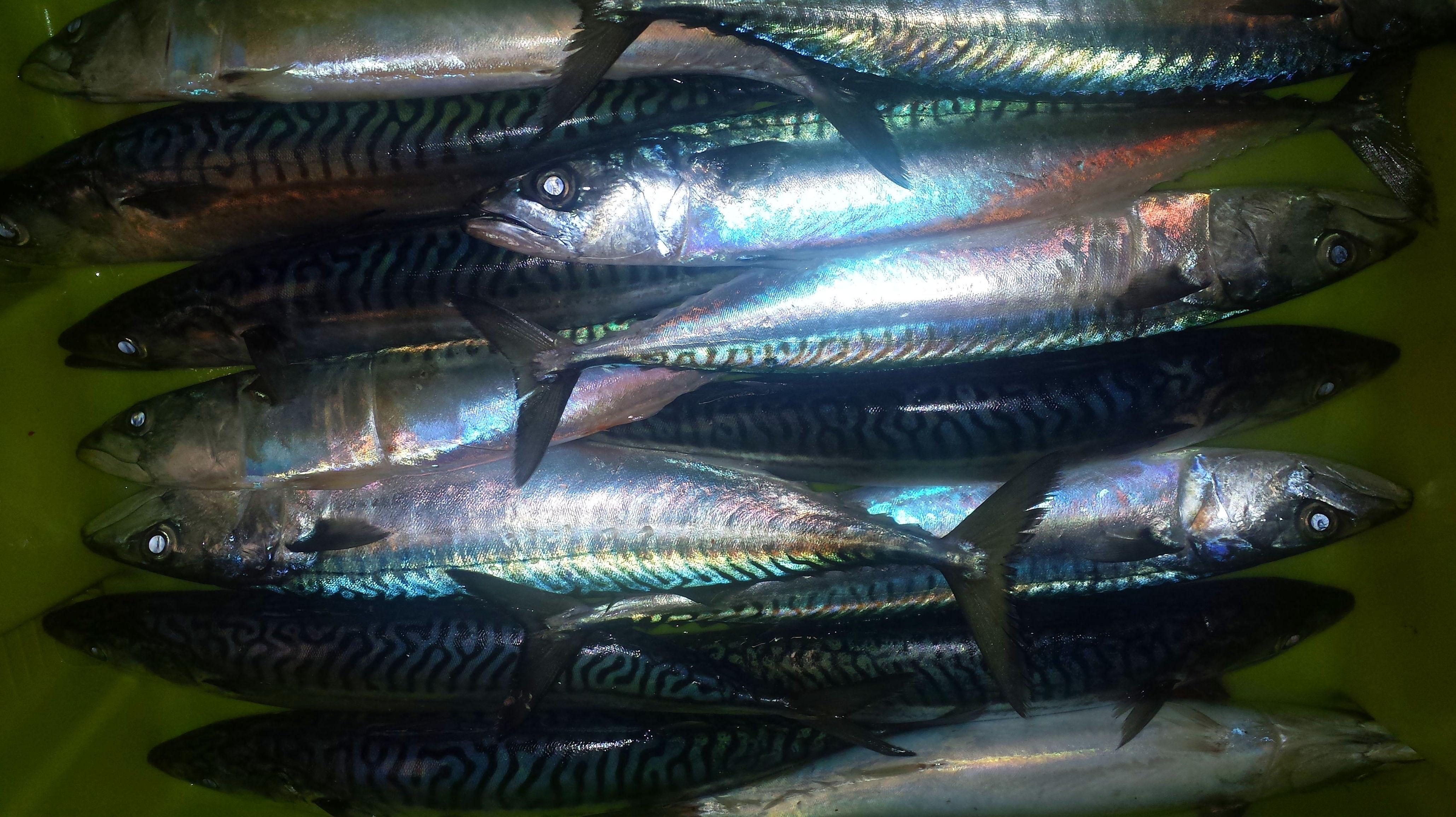 caballa, xarda o verdel: SERVICIOS de Pescastur