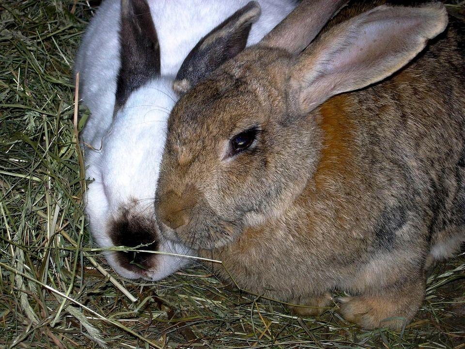 Conejo de granja: Productos y Servicios de Agricultura Sostenible Susana