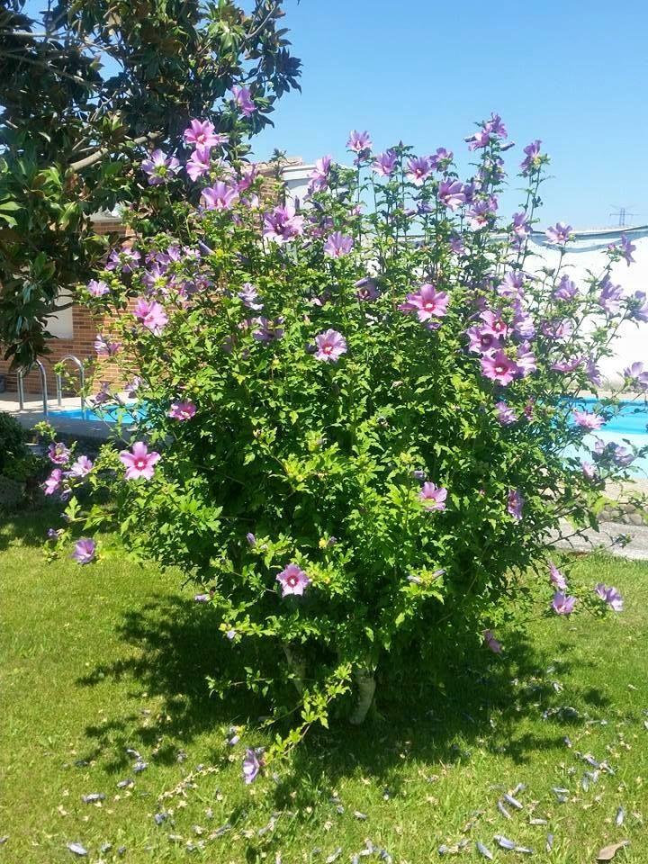 El Hibiscus syriacus o Rosa de Siria. Planta bonita y resistente para nuestra zona
