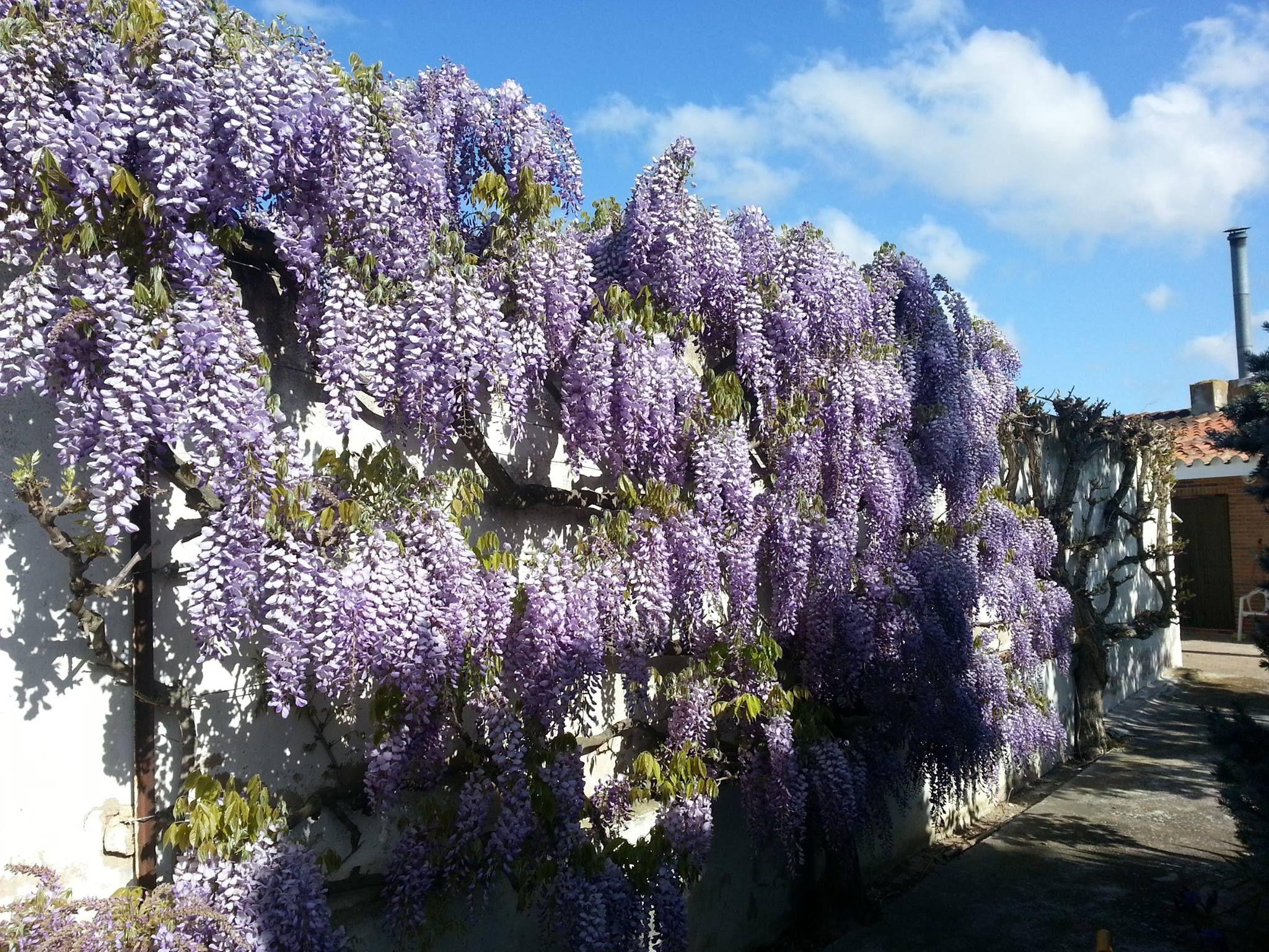 Floración la Glicinea o Wisteria. No dura mucho tiempo, pero es espectacular.
