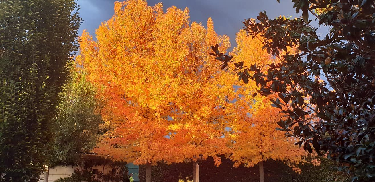 El otoño representado en los liquidambar