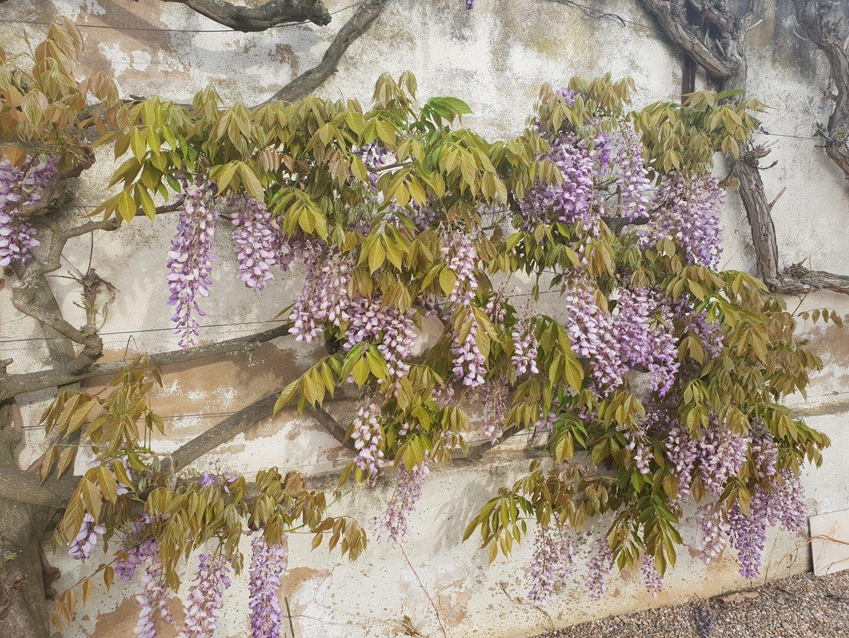 floración de la Glicinea.