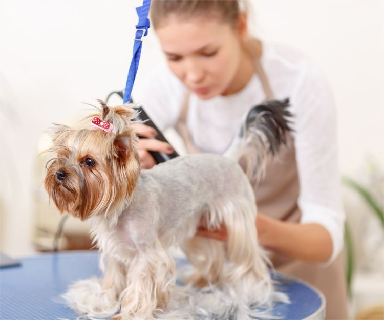 Peluquería de perros pequeños en 30 minutos en Elche