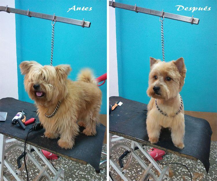 Peluquería canina en Elche, antes y después