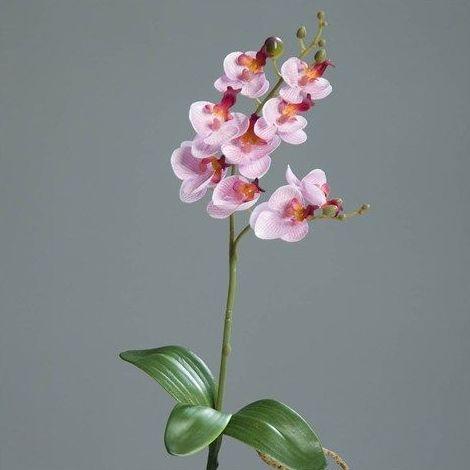 Varas de orquídea con bulbo: CATÁLOGO de Fernando Gallego, S.C.P.
