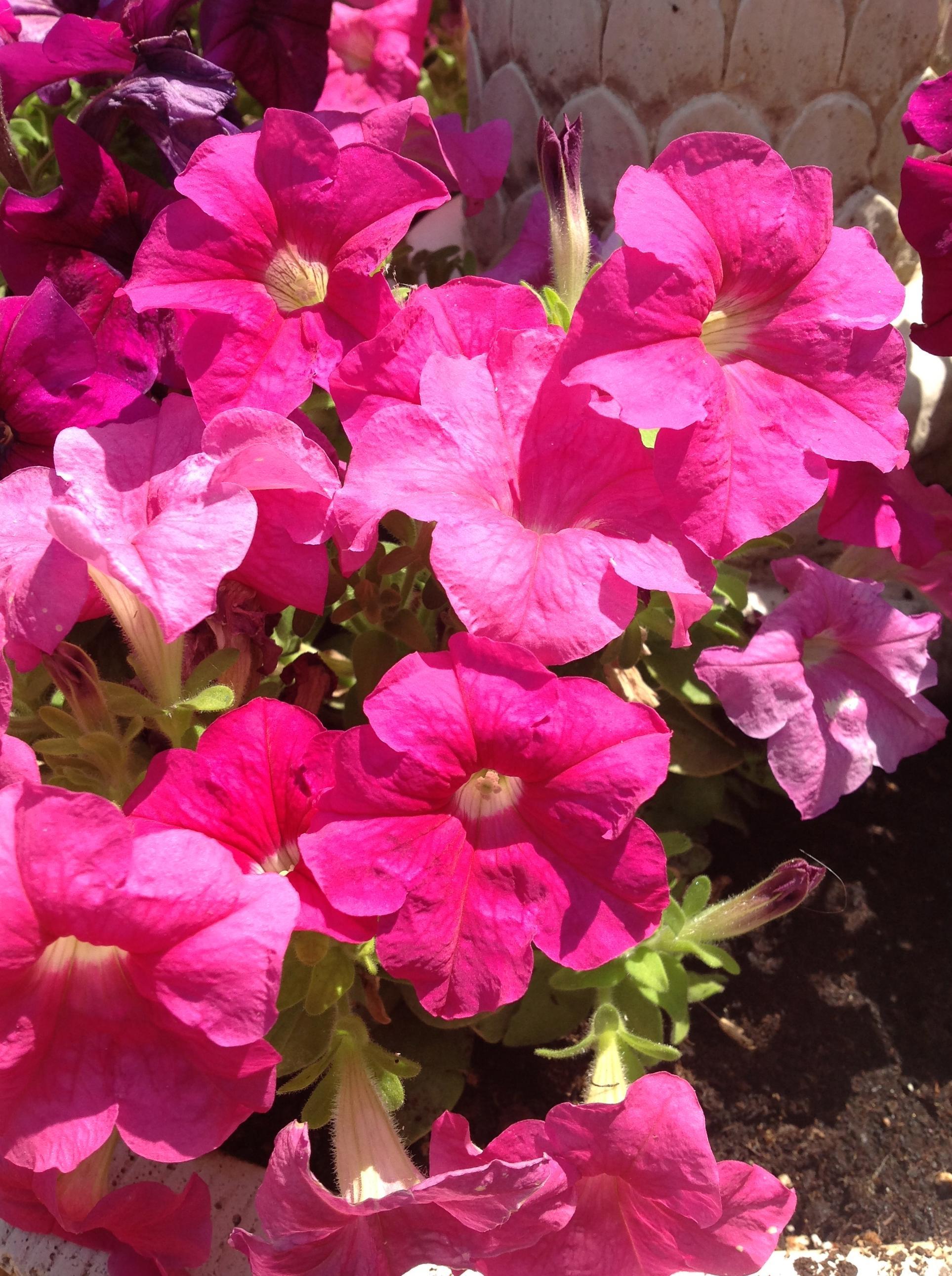 Petunias\u002DFloresMaranta