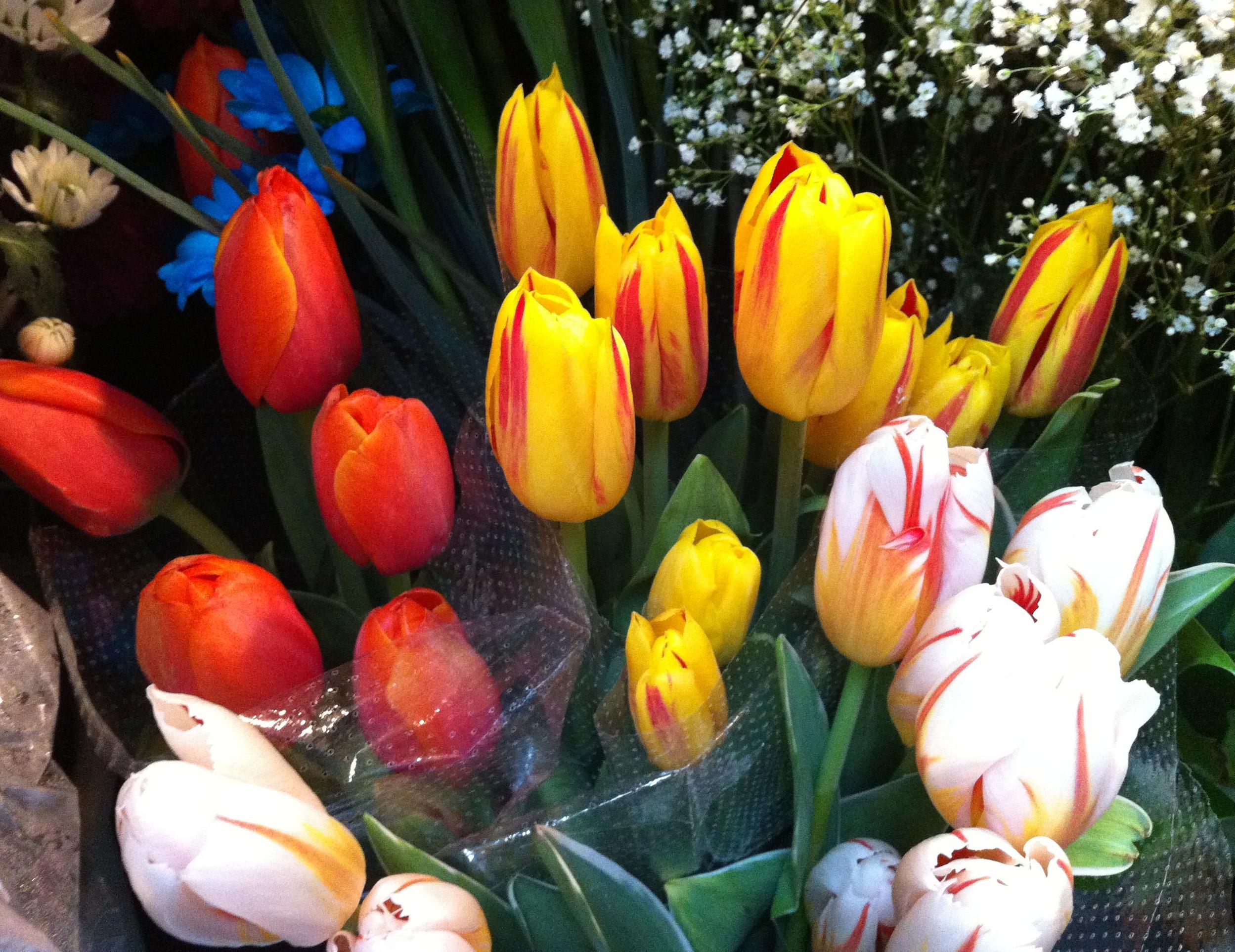 Tulipanes: Catálogo de Flores Maranta