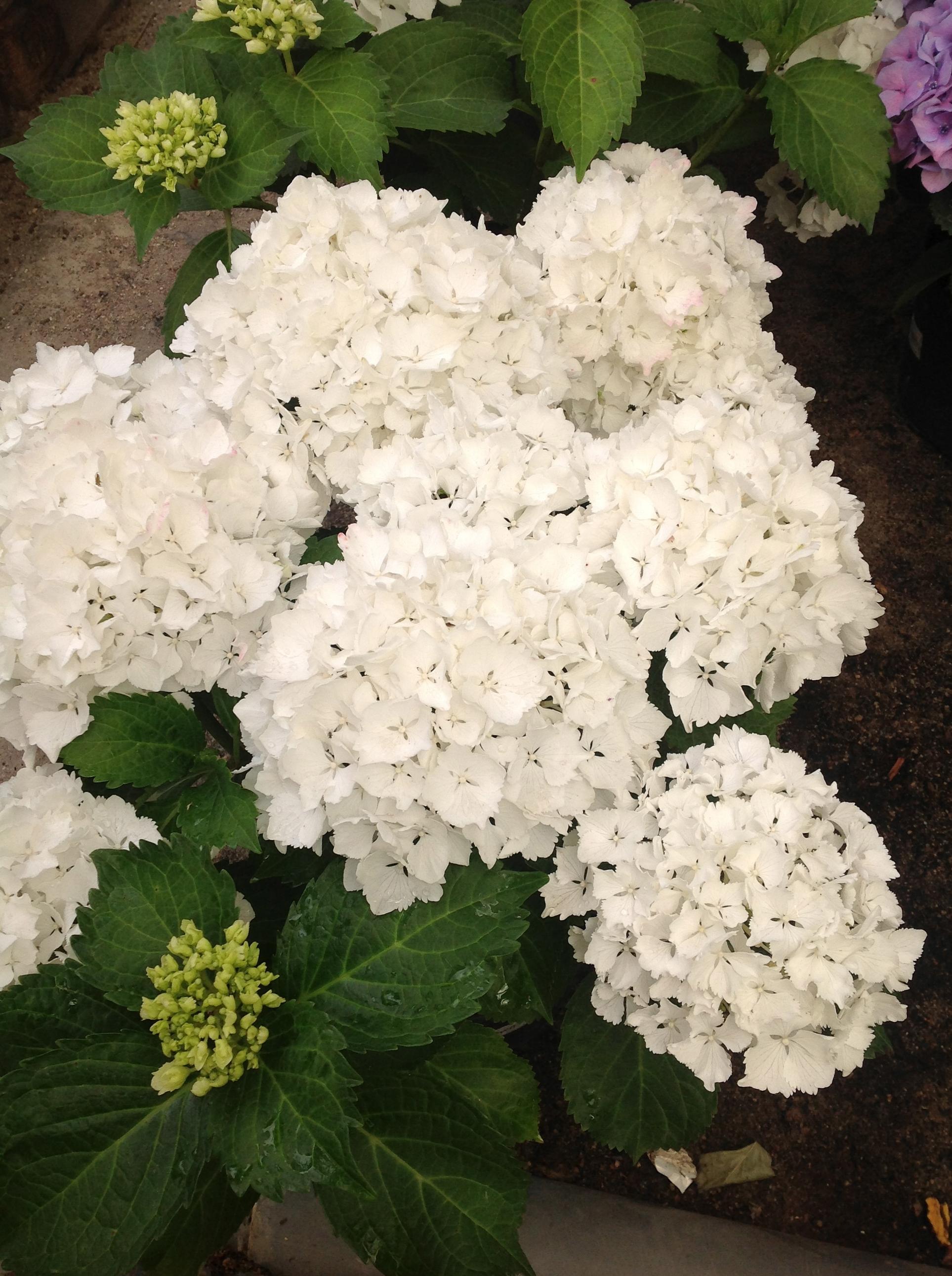 Flores Maranta