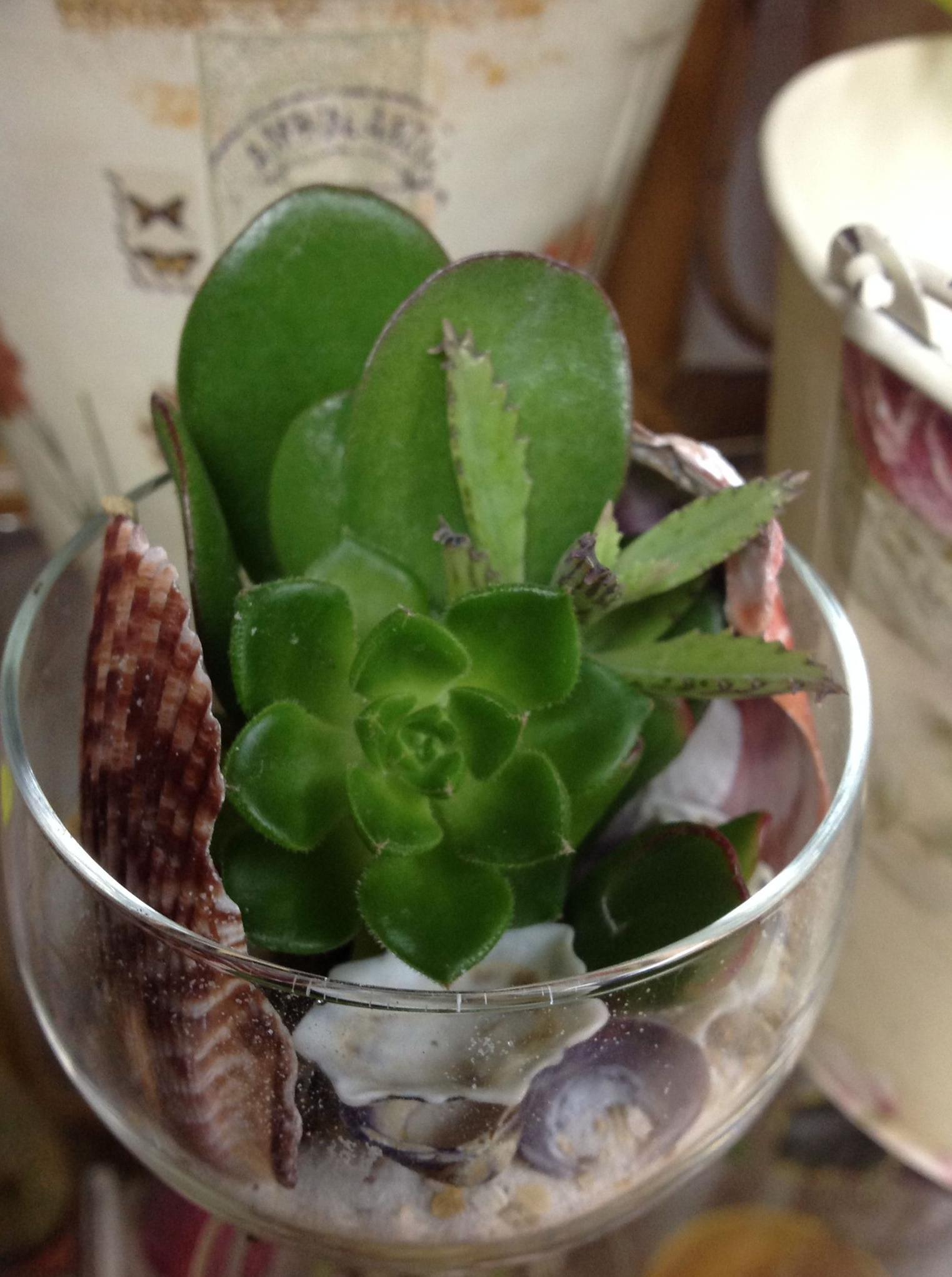 Copa cactus