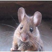 Eliminar ratas en Madrid
