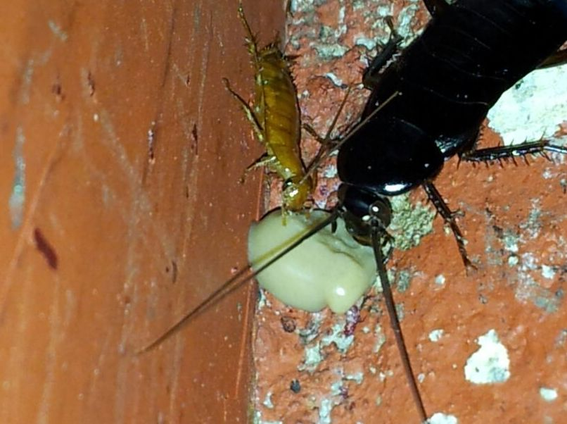 Cucaracha Oriental ingiriendo cebo