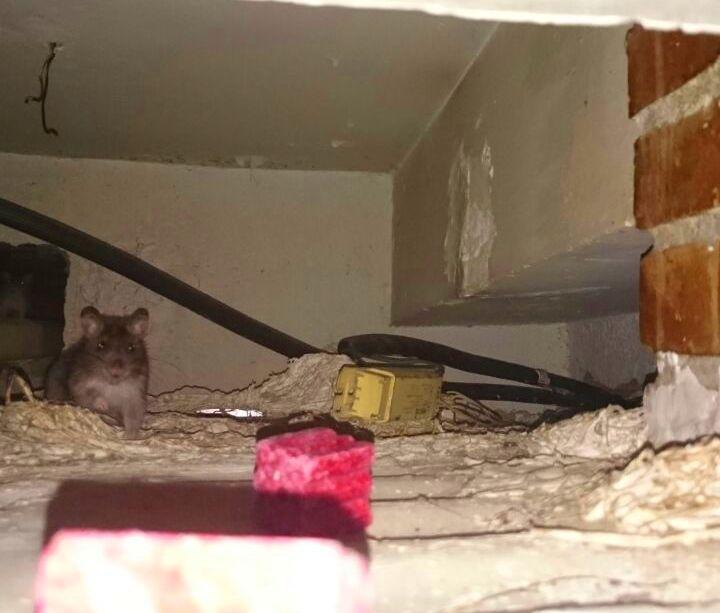 Tratamiento de Desratizacón, inspección de un falso techo