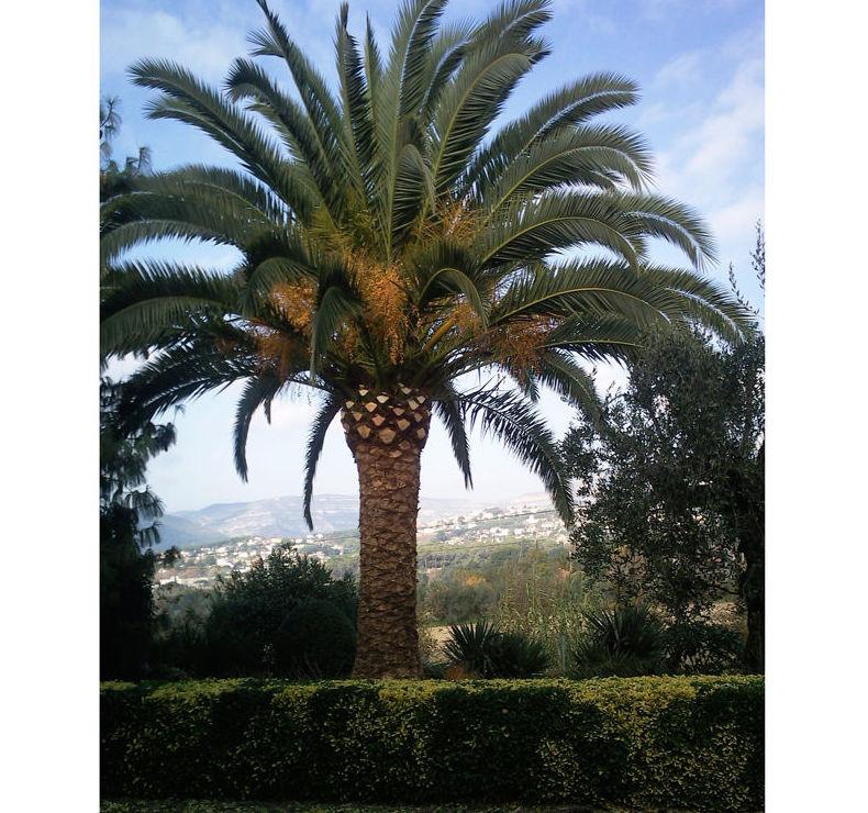 Poda de palmeras en Barcelona