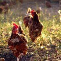 Distribución de huevos ecológicos en Barcelona. Gallinas felices huevos de primerísima calidad