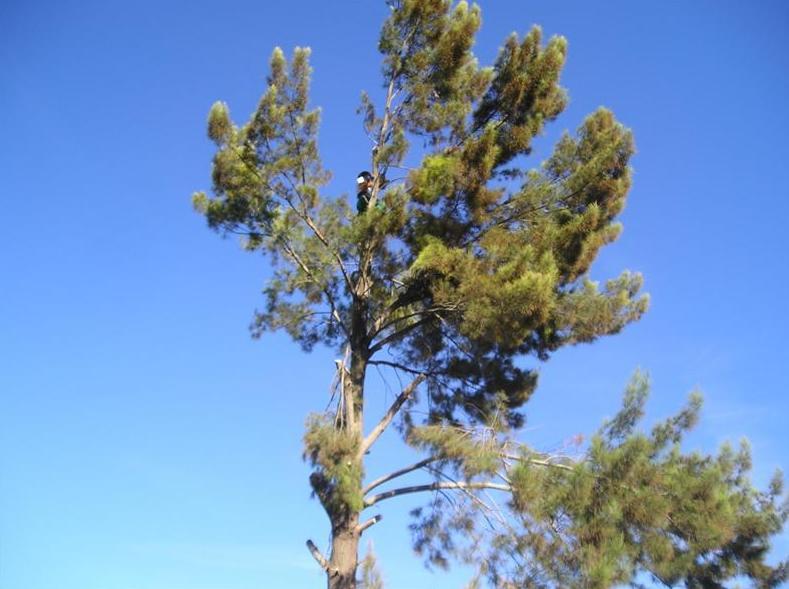 Tala de Pino, recogida y limpieza de todo el ramaje, troncos y restos.