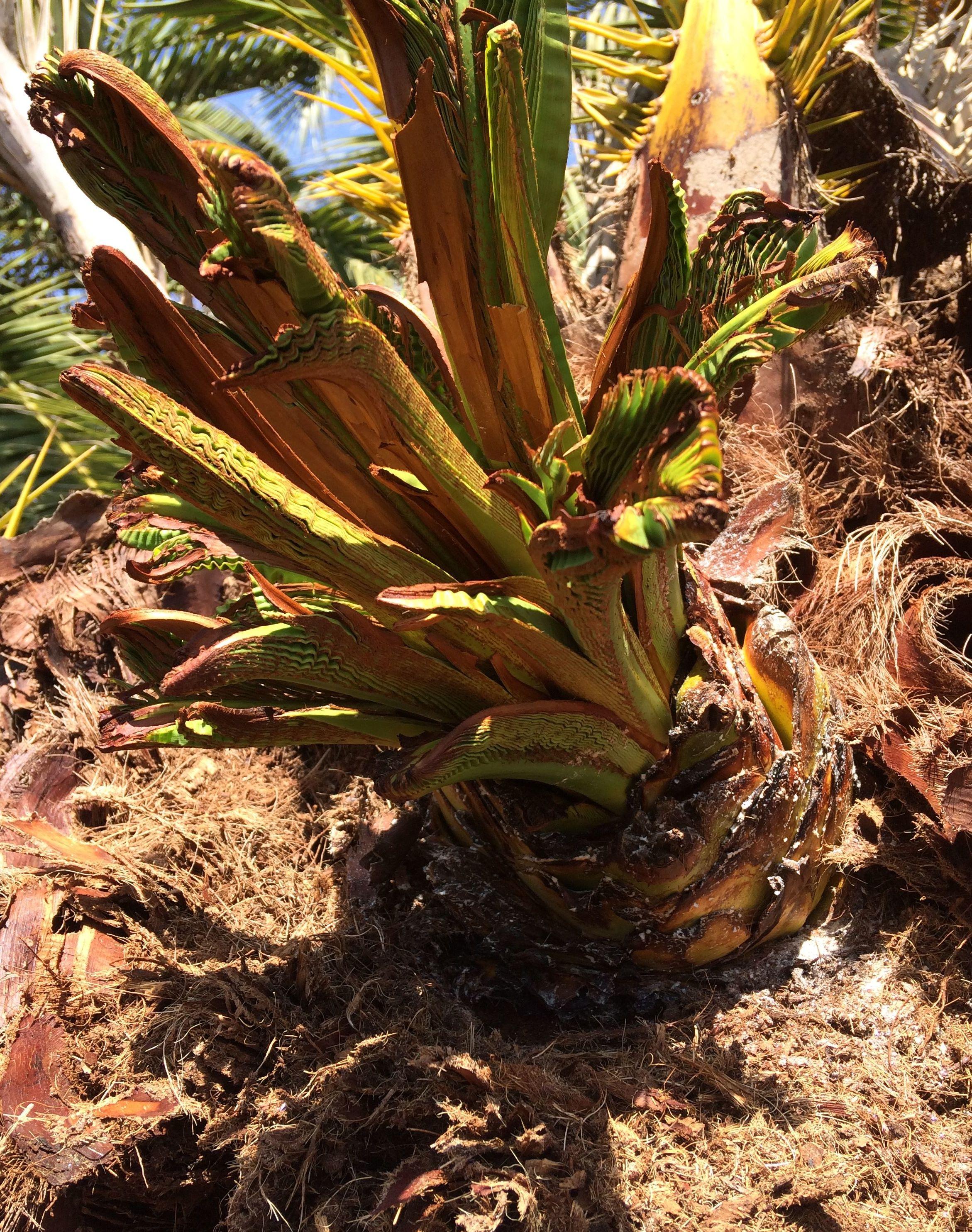 Recuperación de phoenix canariensis atacada por picudo