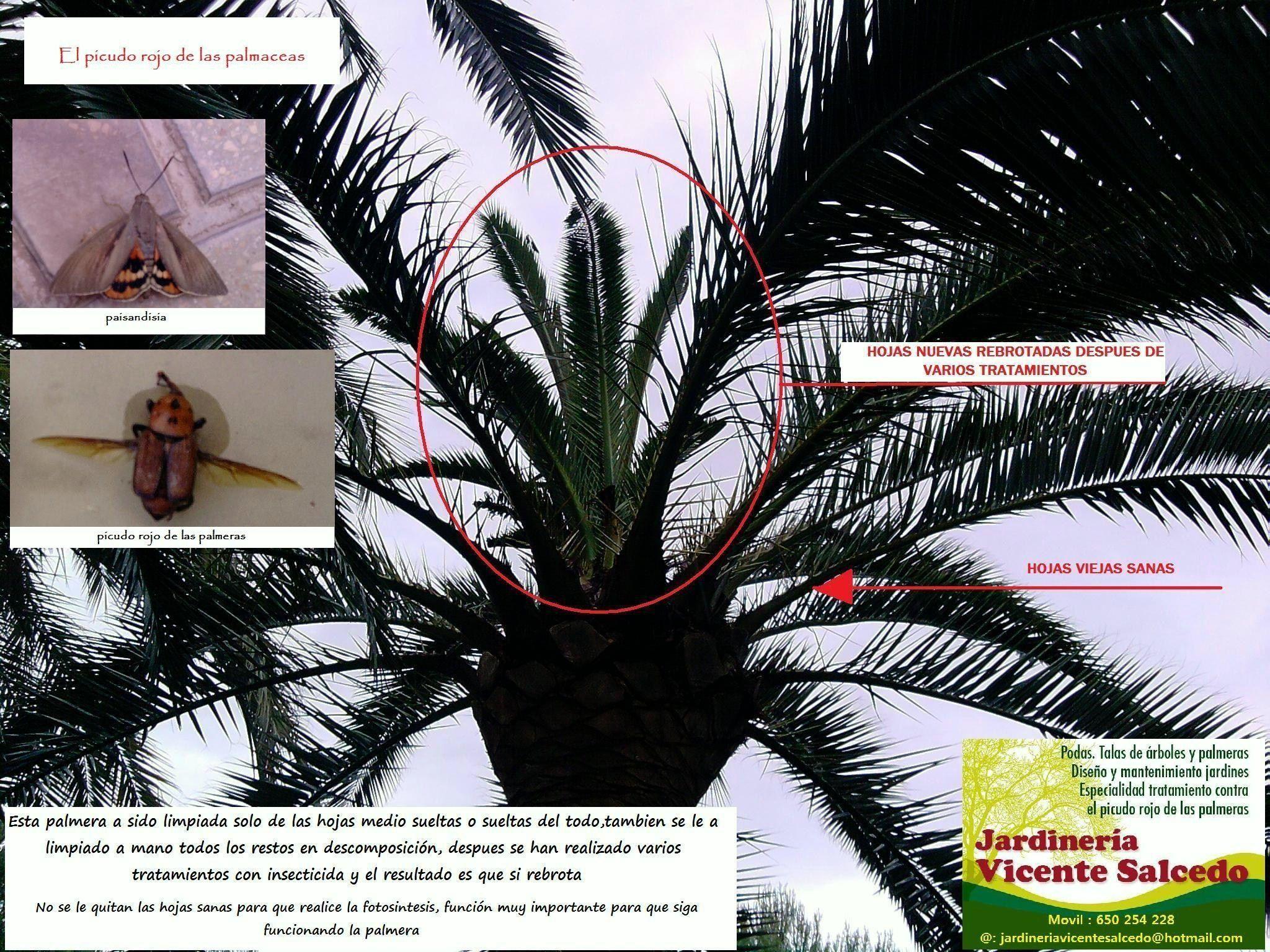 tratamiento de palmeras contra el picudo