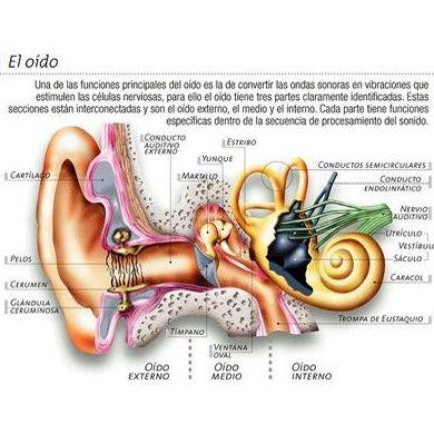 Anatomía del oido