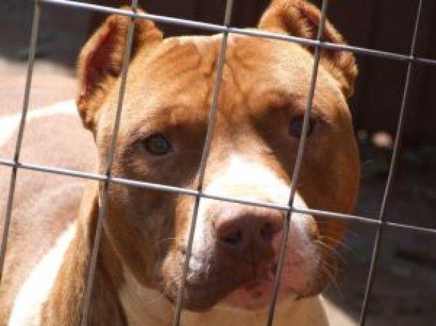 Animales denominados potencialmente peligrosos: Certificados de Reconocimiento Médico Psicotécnico Sagunto