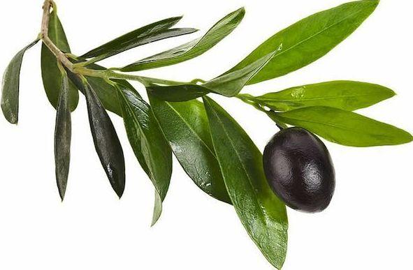 Cómo combatir la hipertensión con olivo