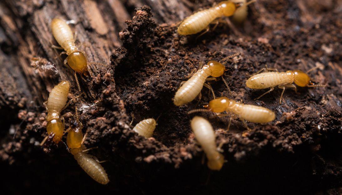 Especialistas en eliminar termitas en Bilbao