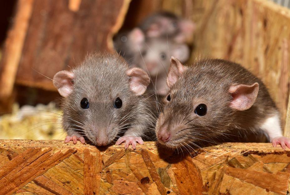 Control de plagas de ratas y ratones en Bilbao