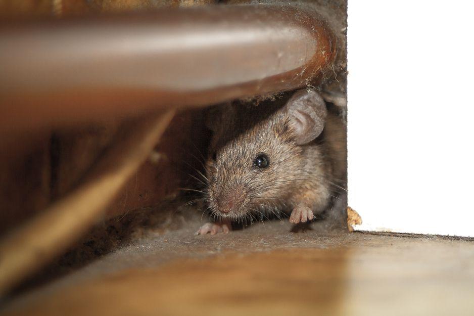 Control de plagas de ratones en Bilbao