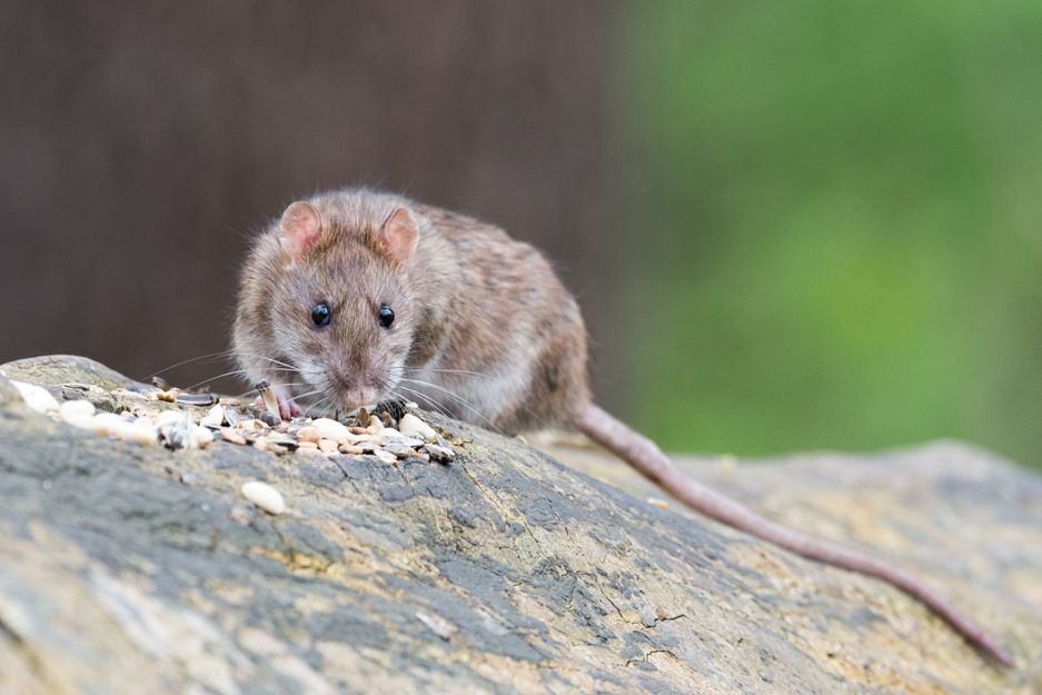 Eliminación de plagas de ratas y ratones en Bilbao