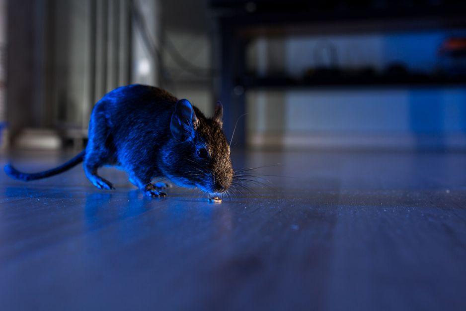 Especilistas en eliminación de plagas de ratas y ratones en Bilbao