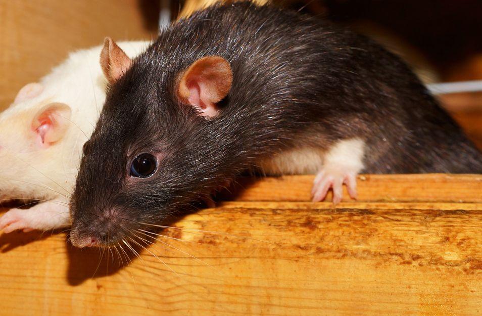 Eliminación de plagas de ratas en Bilbao