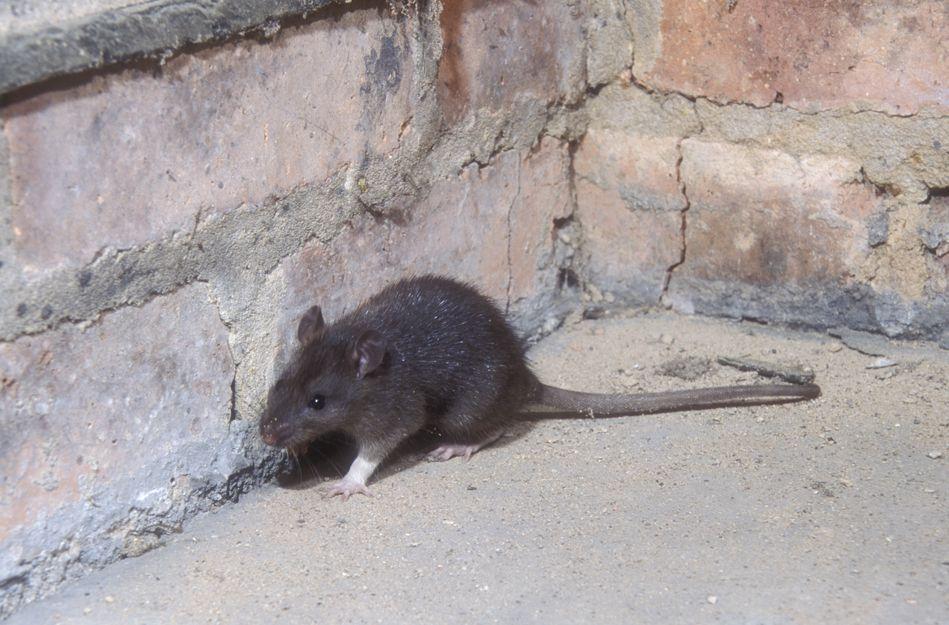 Eliminación de plagas de ratones en Bilbao