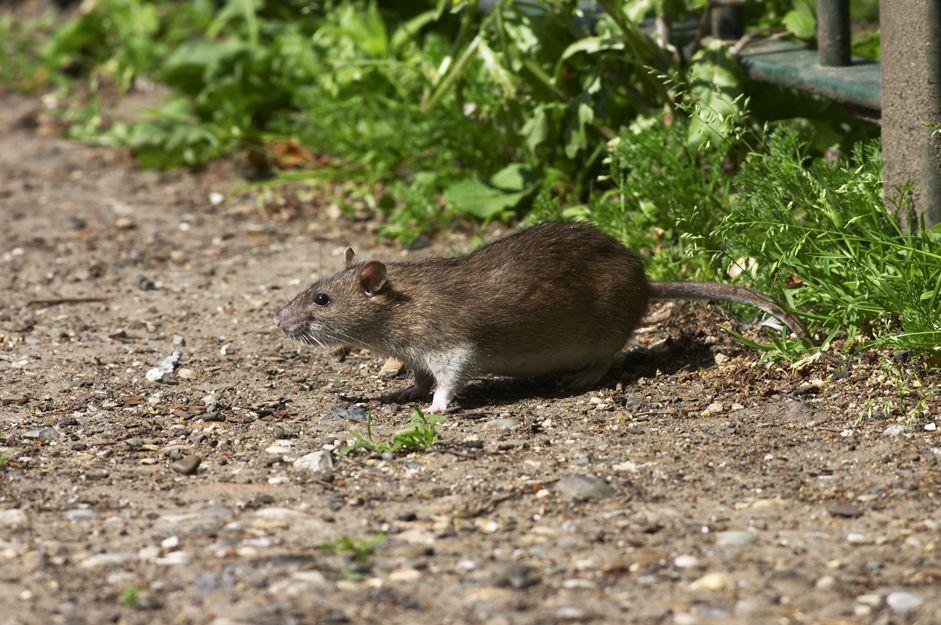 Control de plagas de ratas en Bilbao