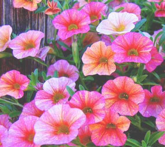 Petunias: Catálogo de De La Hoz Plantas y Flores