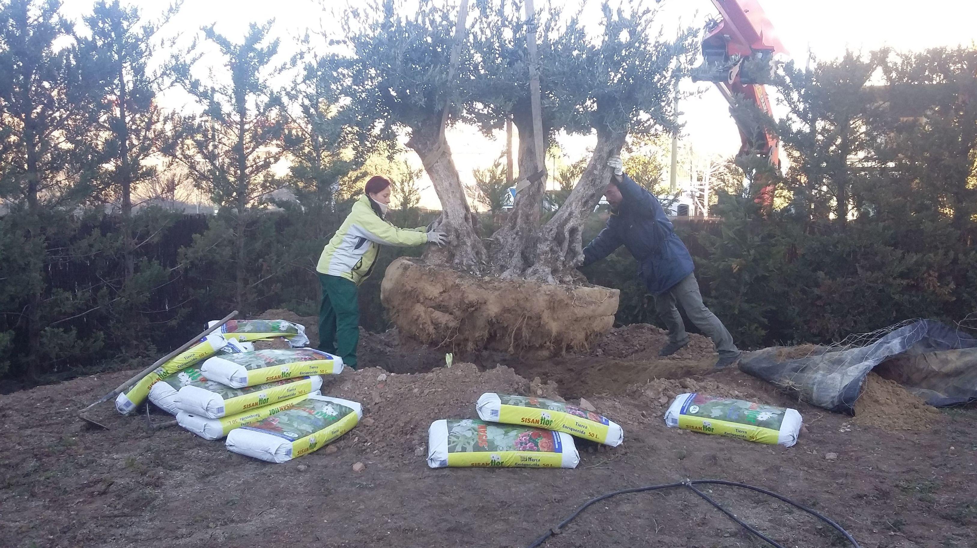 Plantación de olivo centenario