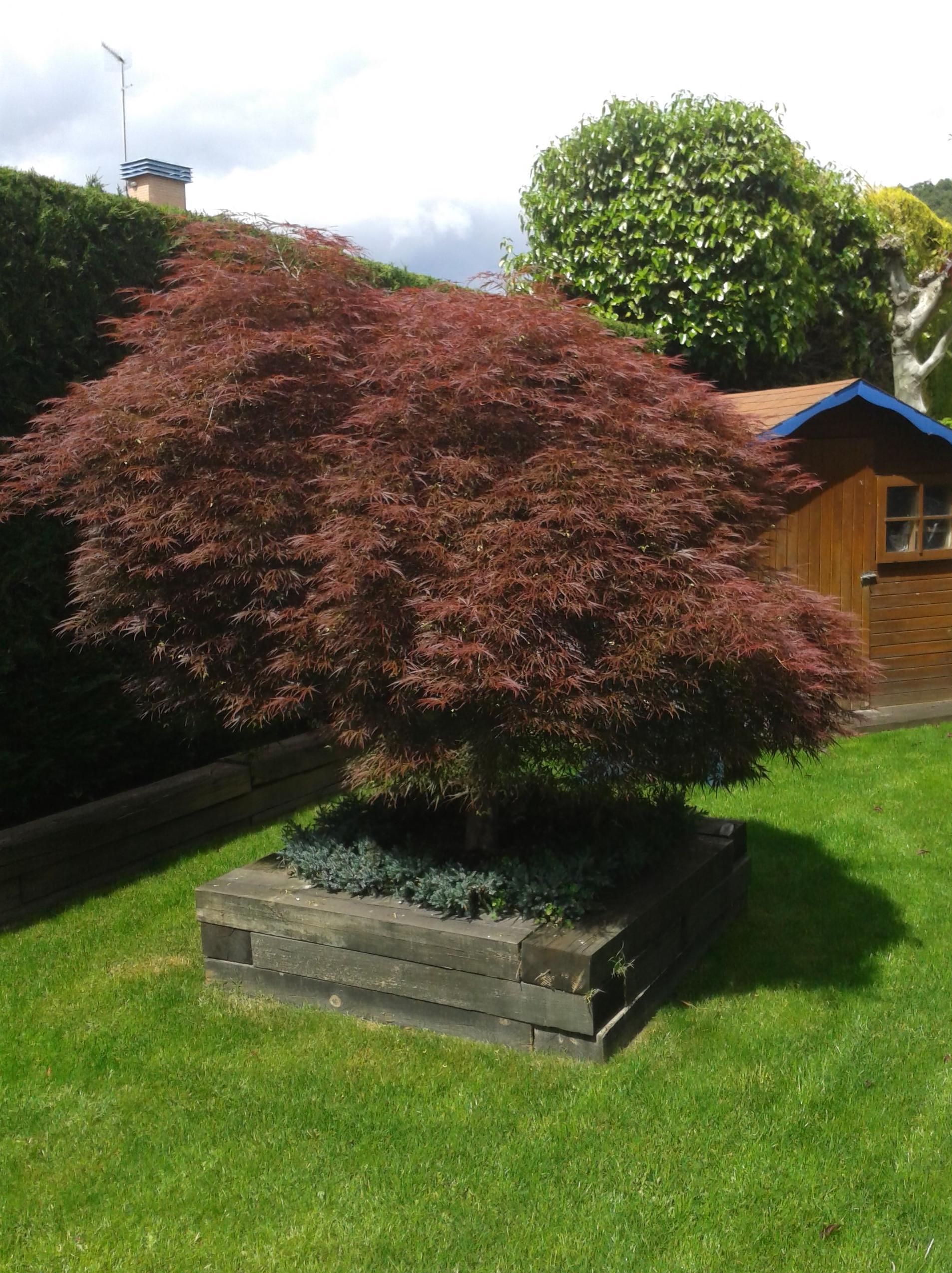 arce japones diseño decoracion cesped traviesas arbusto arbol planta caseta jardin