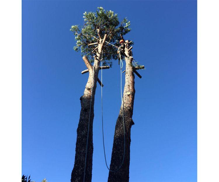 Trabajos de reducción de copas de árboles en Torrelodones