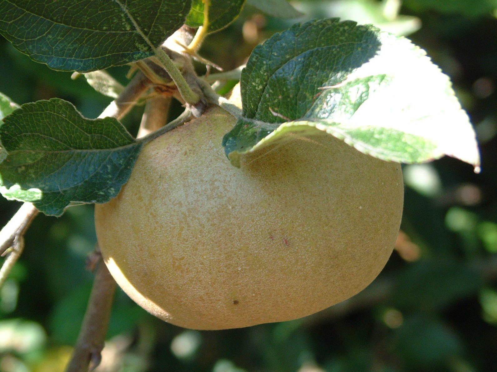 Frutal autóctono gallego - Manzano Pero