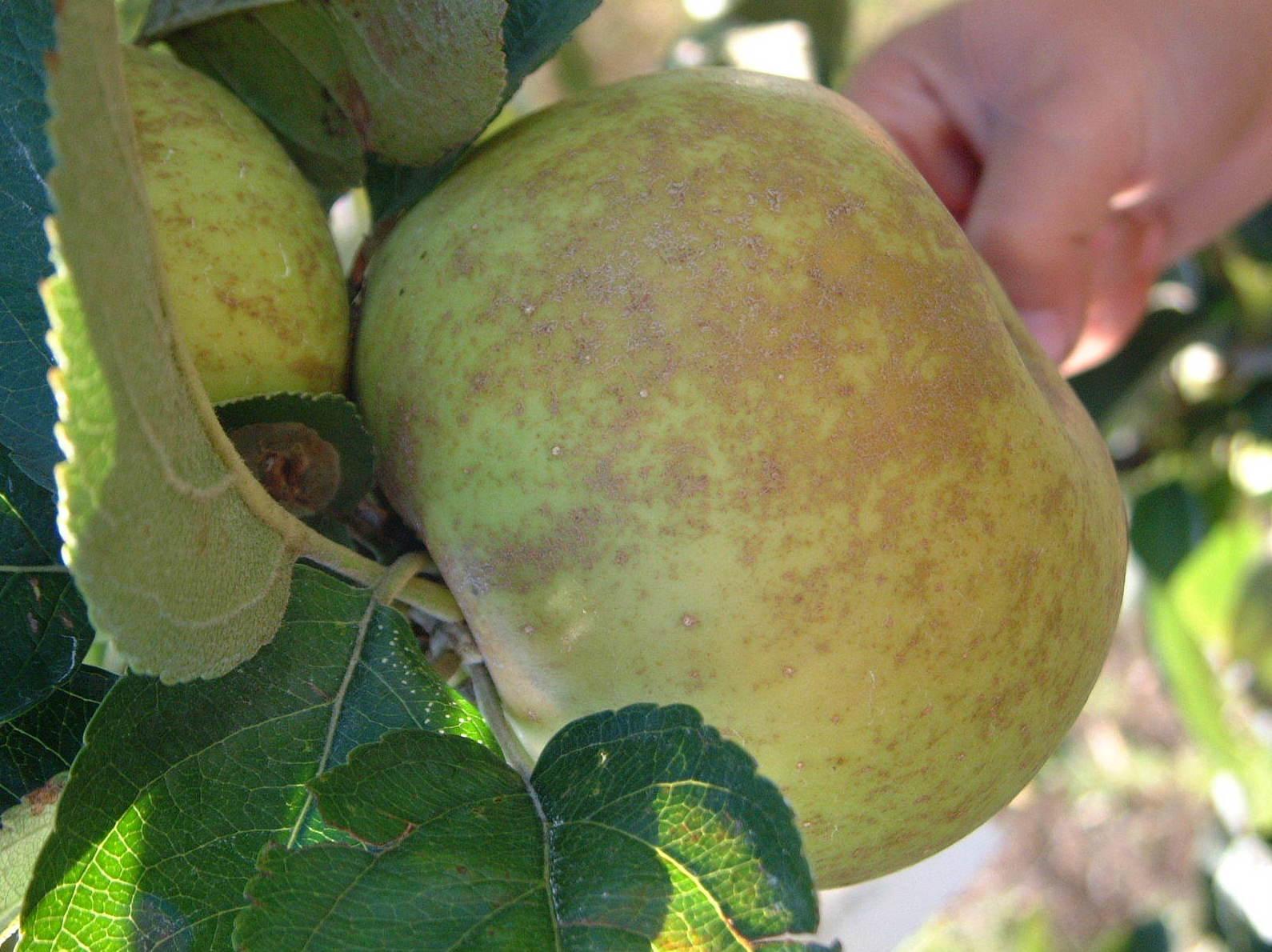 Frutal autóctono gallego - Manzano Tabadilla Clara