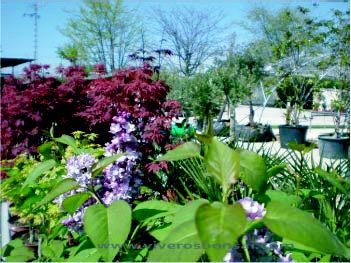 Foto 3 de Jardines (diseño y mantenimiento) en Belvis de Jarama | Viveros Bonsai