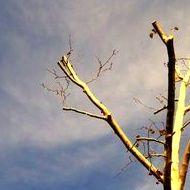 Poda de árboles en San Román de los montes