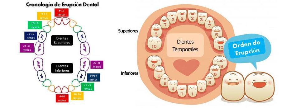 Cronología y orden de erupción dental.