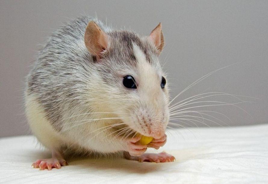 Eliminación de ratas y ratones en Madrid