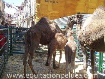 Alquiler de dromedarios en la Comunidad Valenciana