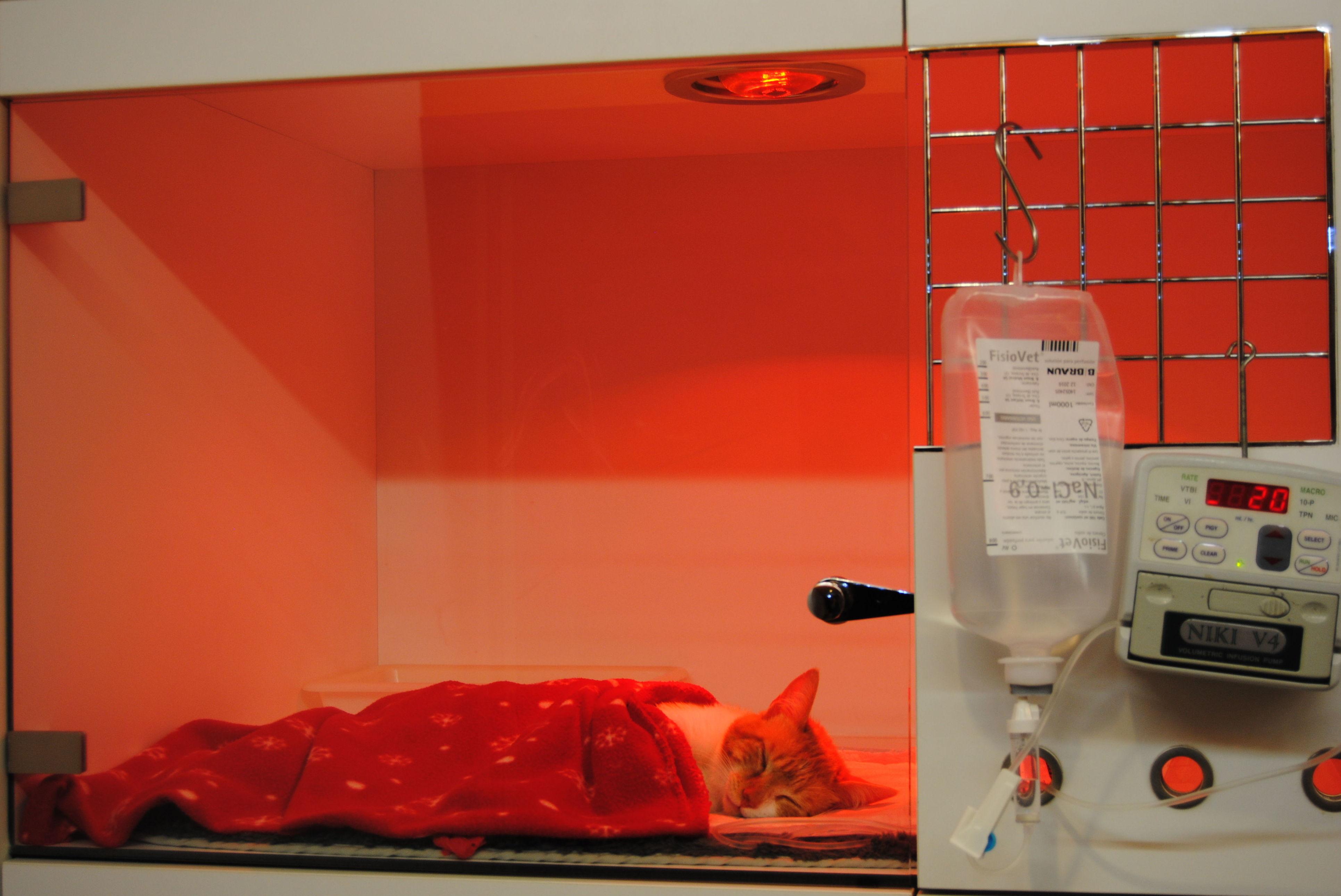 Transfusiones sangre gatos, urgencias 24 horas.