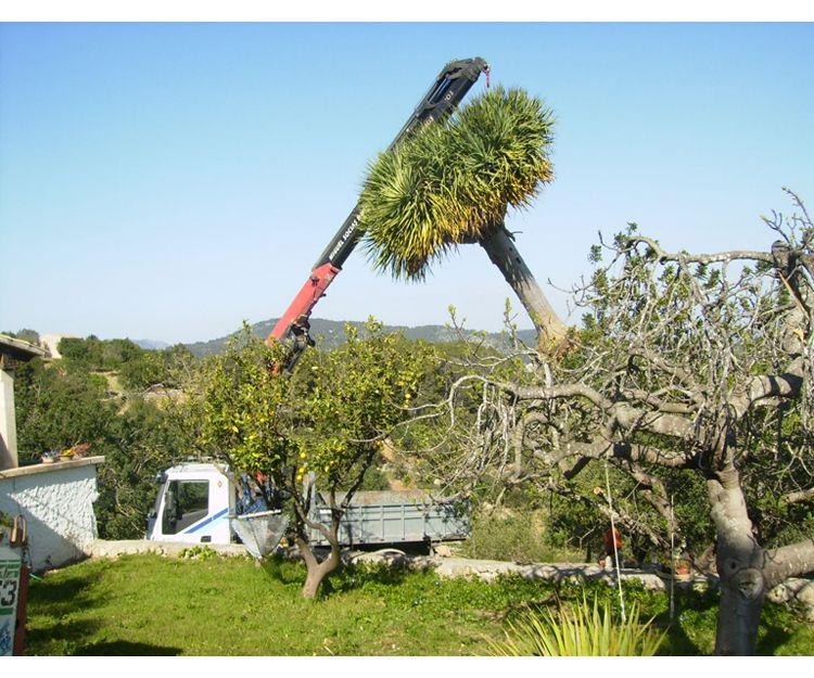 Transporte de palmeras