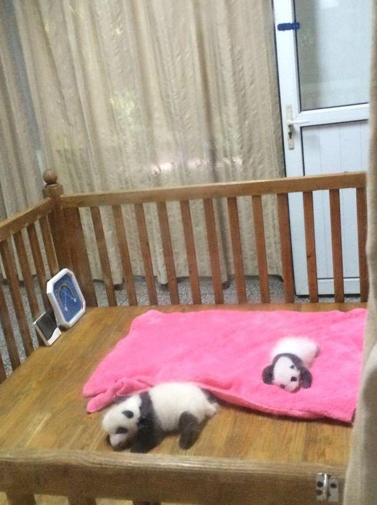 Oso Panda jugando en su cunita..