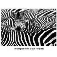Fotoimpresión de cebras