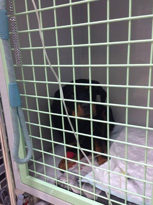 Box de hospitalización veterinaria