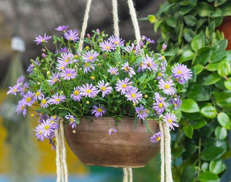 Precioso brachycome para tu jardín o terraza